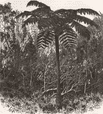 MADAGASCAR. Tree-Fern-Madagascar 1880 old antique vintage print picture